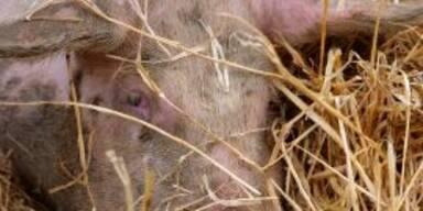 Skandal-Bauer will Schweine töten, damit sie nicht gerettet werden