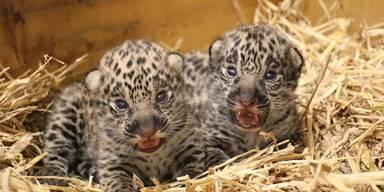 Jaguar Nachwuchs in Salzburg