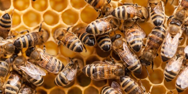 Antibiotika-Einsatz könnte zum Bienensterben beitragen