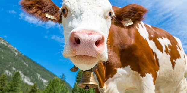84-jährige Deutsche in Tirol von Kuh attackiert