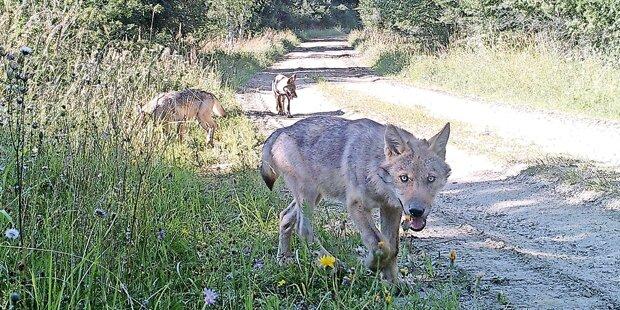 7 Lämmer gerissen: Es waren Wölfe!