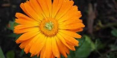 Ringelblume Heilpflanze des Jahres
