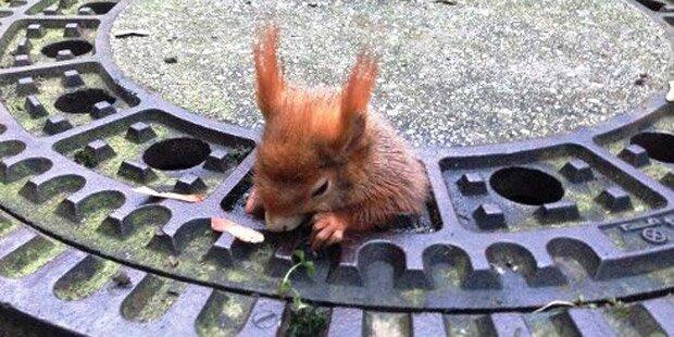 Zu breite Hüften: Eichhörnchen steckt in Kanaldeckel fest
