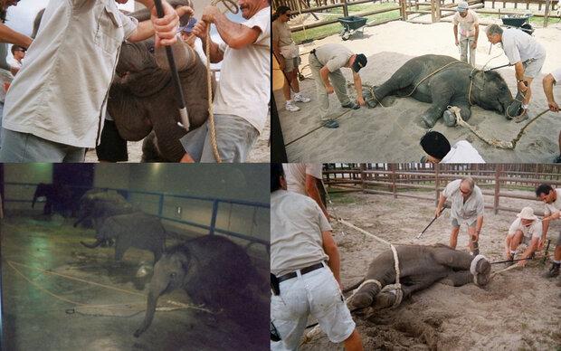 So werden Elefanten im Zirkus gequält