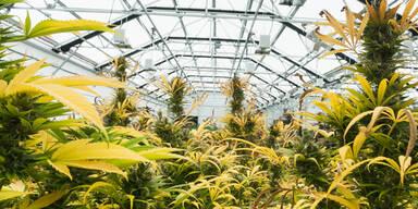Australien: Erste legale Marihuana-Farm
