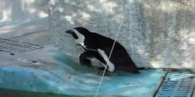 Pinguin macht sich zum Affen
