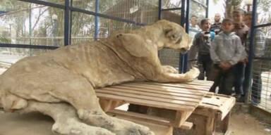 Pleite-Zoo in Gaza stellt tote Tiere in Käfige