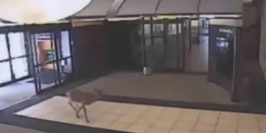 Verirrter Hirsch stürmt Gebäude
