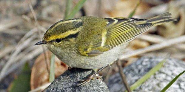 Seltener Vogel aus Sibirien in Wien beobachtet