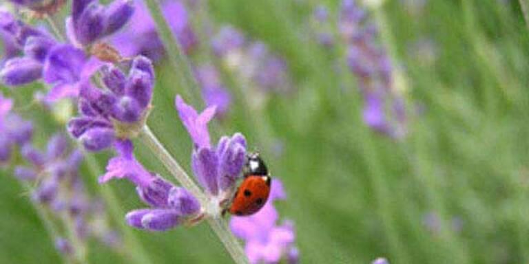 Lavendel ist Heilpflanze 2008