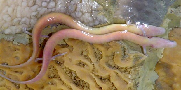 Forscher warten auf lang ersehnte Drachen-Geburt