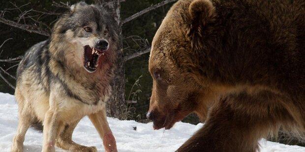 Hier kämpft ein Grizzly gegen drei Wölfe