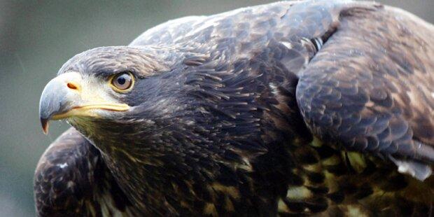 Mädchen (4) von Adler attackiert und verletzt