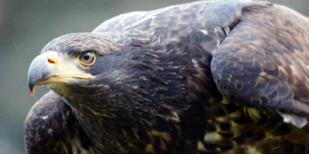 Qualvoller Tod: Adler vergiftet
