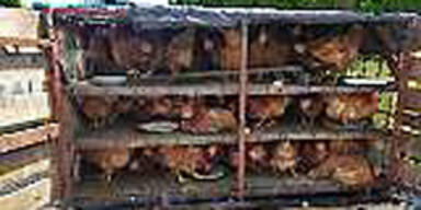 Pkw-Stopp: Hühner mussten Qualen leiden