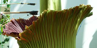 Größte Blume der Welt in der Stadt Salzburg aufgeblüht