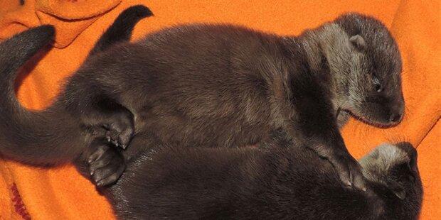 Anrainer hörten Weinen: Otterbabys in Neutal gerettet