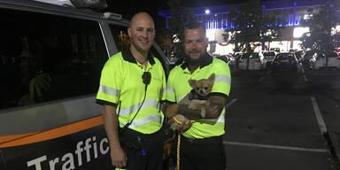 Chihuahua nach zweieinhalb Kilometern auf Linzer Autobahn gestoppt