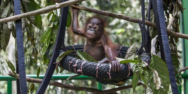 Unterricht für Orang-Utans im Regenwald
