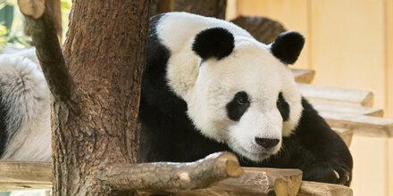 1 Jahr warten auf Panda-Paarung in Schönbrunn