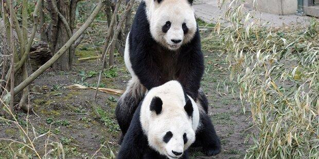 Pandas in Schönbrunn haben sich gepaart