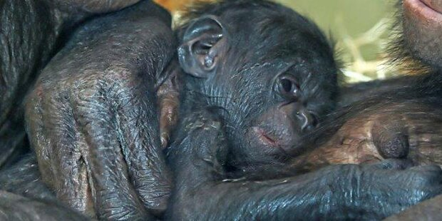 Schimpansen-Mutter adoptiert Waisen-Baby