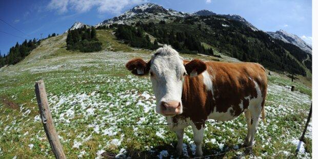 Kuh erdrückt Bäuerin fast zu Tode
