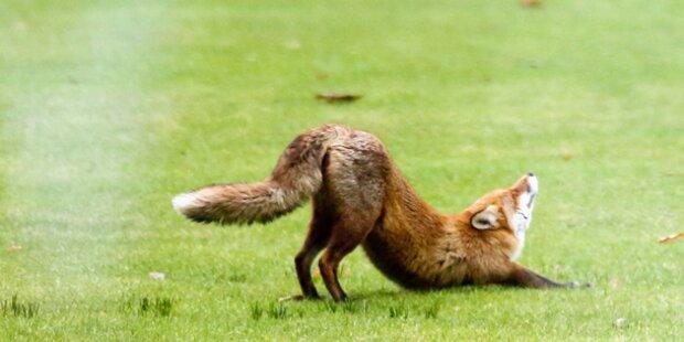 Fuchs wurde Opfer von Tierquäler