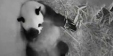 Pandababy im Tiergarten Schönbrunn geboren