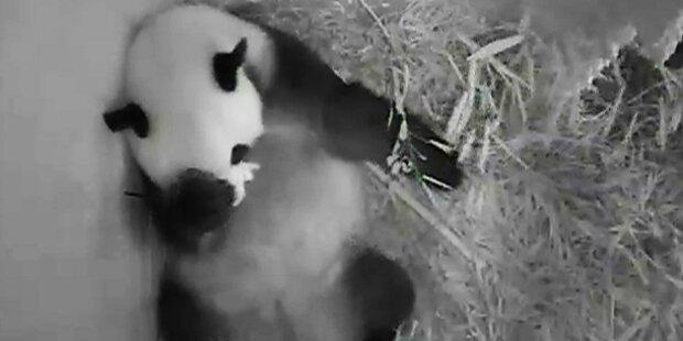 So süß ist der kleine Baby-Panda