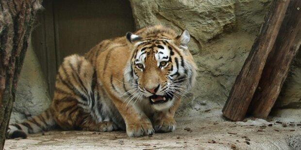 Sumatra-Tiger tötete Tierpflegerin