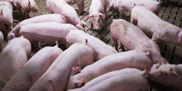 Steirer stapelte Schweine-Kadaver auf Bauernhof