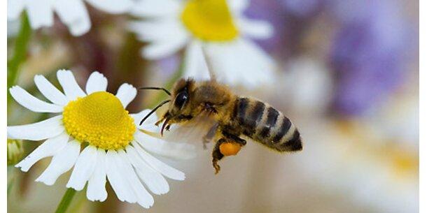 Honig wirkt effektiver als Antibiotika