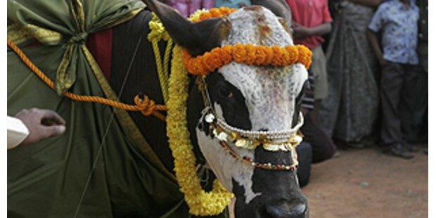 Kühe, wie für Fashionshow gestylt