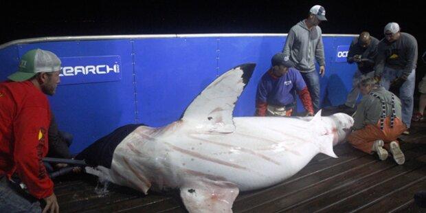 Hai-Forscher: So gefährlich ist ihr Job