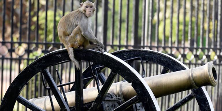 Affenplage in Neu-Dehli außer Kontrolle