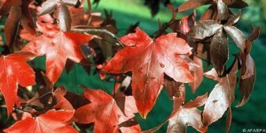 Amberblätter verströmen ein süßliches Aroma