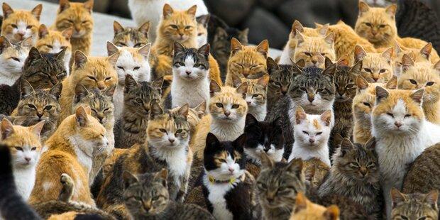 Katzen nehmen japanische Insel ein