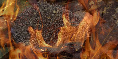 Apa brennender igel