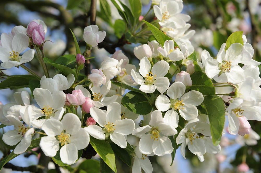 Apfelblüte - Garten-CH - NaturLust #15 - NaturGarten S. 22-27