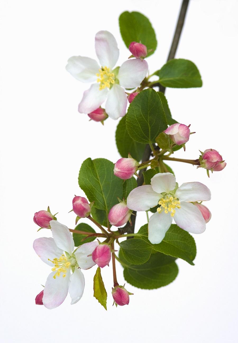 Apfelblüte 1 - Garten-CH - NaturLust #15 - NaturGarten S. 22-27