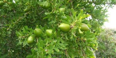 Argan-Bäume sind vom Aussterben bedroht