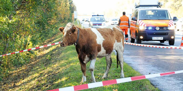 Kuh verirrte sich auf Inntalautobahn