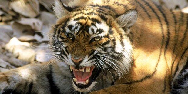 Wilder Tiger zerfleischte zwei Menschen