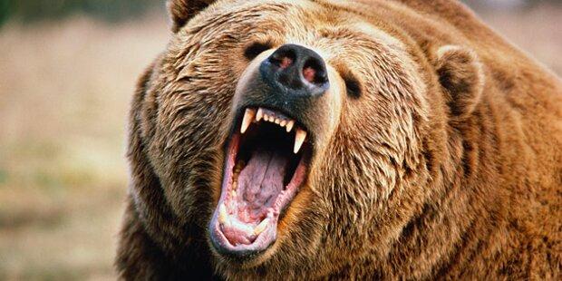 Wilder Bär zerfleischte Tiere auf Bauernhof