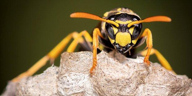 So schützen Sie sich vor Wespen