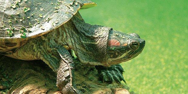 Schildkröten machen Jagd auf Badegäste