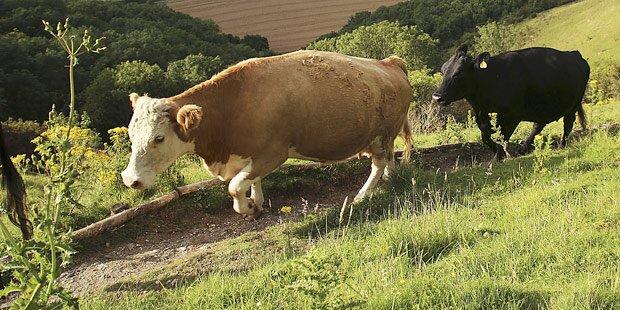 Terrorkuh verletzt Bäuerin im Bezirk Melk