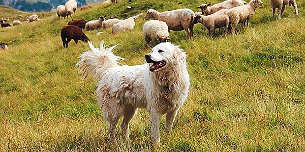 Herden-Hund griff Wanderin an