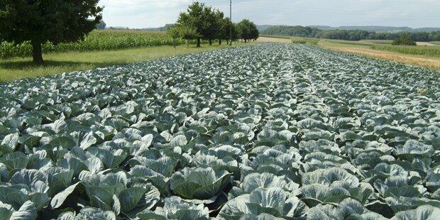 efko-Bauern vernichten Teile der Ernte